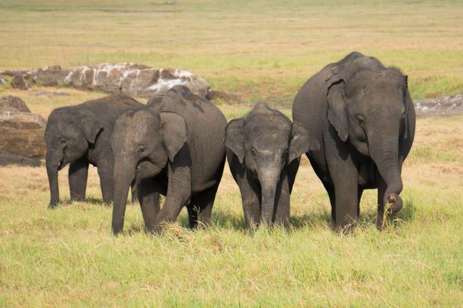 Elefantfamilie i Sri Lanka
